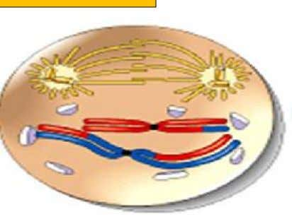 Prophase II 1.The nucleolus disappears and nuclear envelope disintegrates 2.The chromatids become shorten and