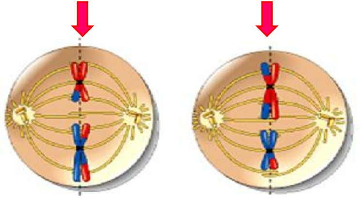 Metaphase II CELL A CELL B 1. Sister chromatids/chromosome align at the equatorial / metaphase plate.