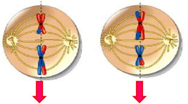 2.The centromere divides 3.Sister chromatids separate 4. Each chromatid is pulled to opposite poles. CELL A