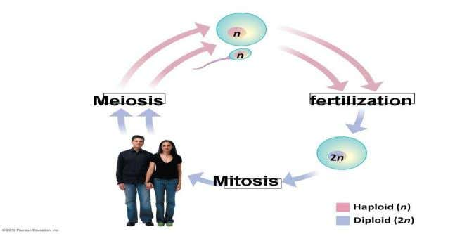 Significance of Meiosis (1) Halving the chromosome number in sexual reproduction - Produce haploid gametes -