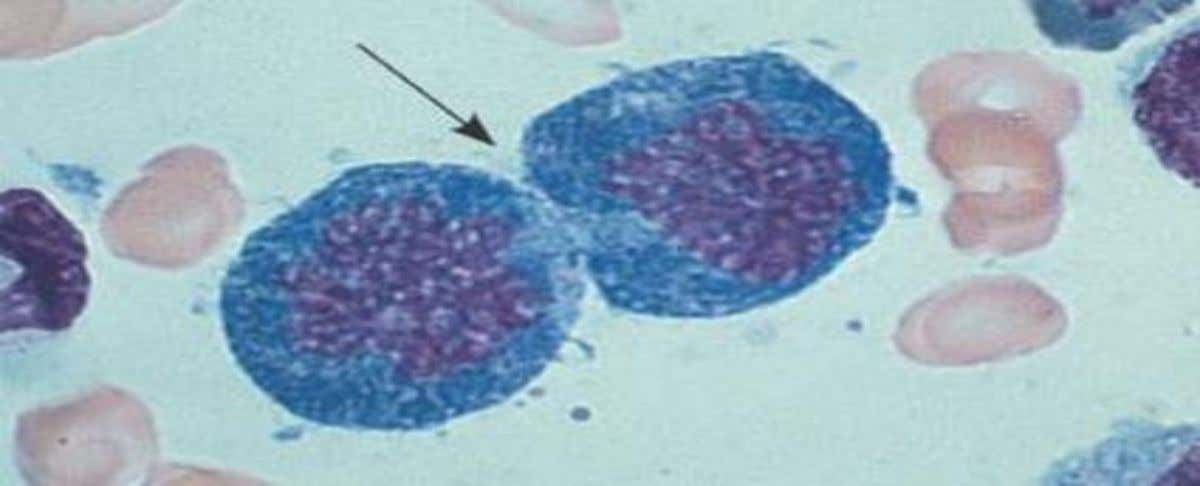 3. Tissue renewal These dividing bone marrow cells (arrow) will give rise to new blood cells