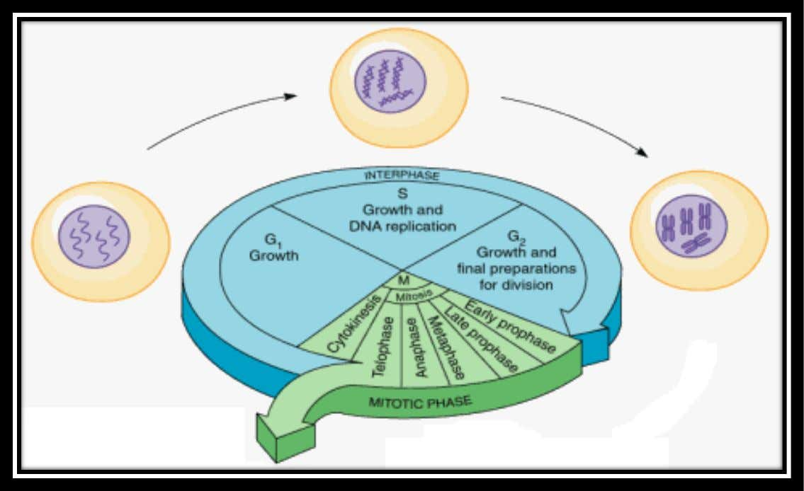 3.2 THE CELL CYCLE  The G 2 phase