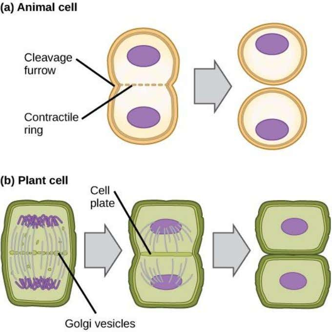 Cytokinesis in Animal and Plant