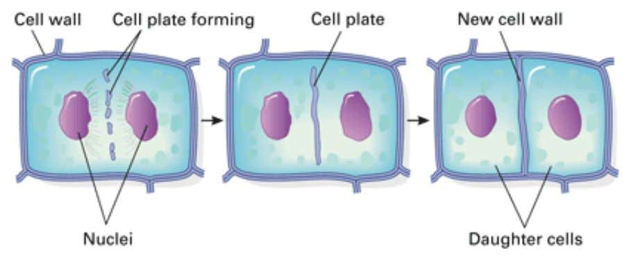 3.3 MITOSIS • The cell plate enlarges until its surrounding membrane fuses with the plasma membrane