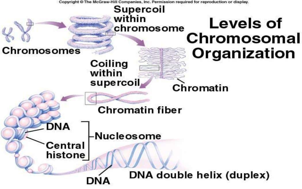 Chromosomes contain DNA molecule in the form of helix