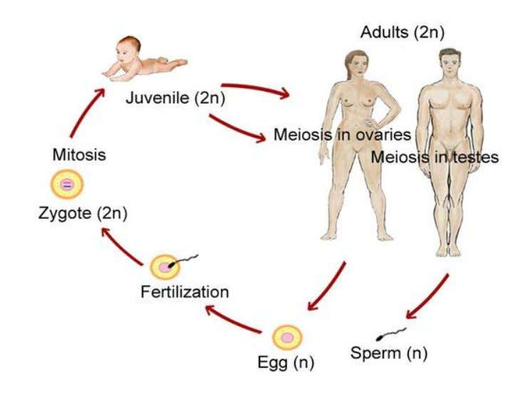Meiosis occurs during : • 1. The formation of gamete (sperm & ovum) in animals during
