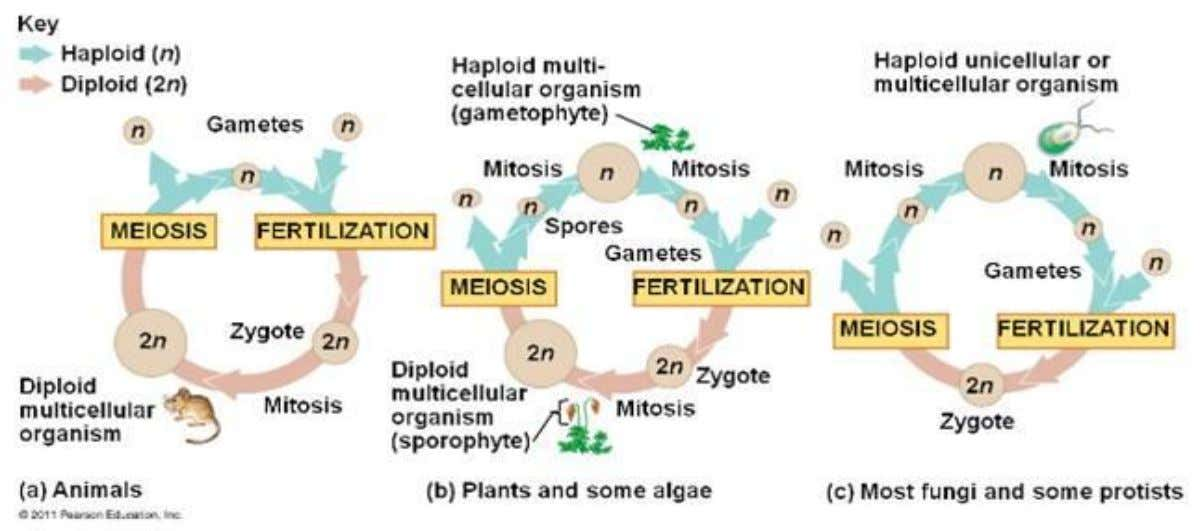 Meiosis occurs during : 3. The production haploid multicellular organism in most Fungi and some protista