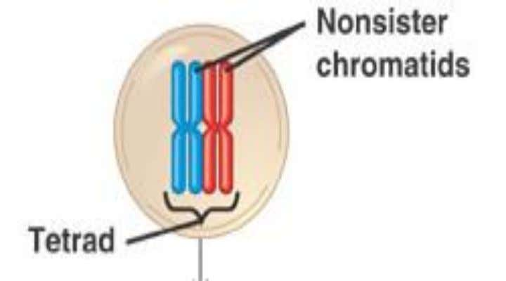 4.Tetrad  4 chromatids of a pair of homologous chromosomes which undergo synapsis 93