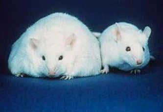 sleep ! ! ! ! A!comparison!of!a!mouse!resulting!in!obesity!(left)!