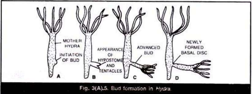 Hydra (Fig. 3(A).5) or internal or endogenous as in Acinata. In Hydra the external bud develops