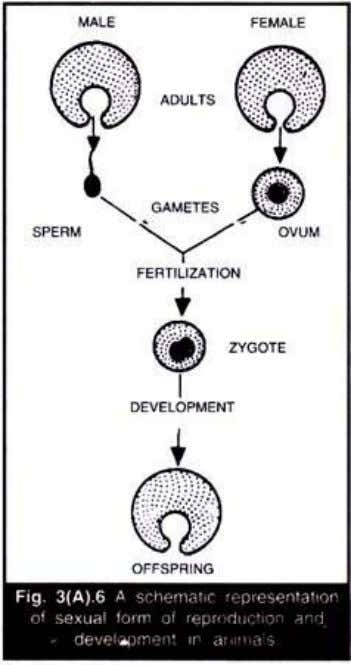 zygote which gives rise to a new individual (Fig. 3(A).6). Therefore, the fusion of gametes maintains