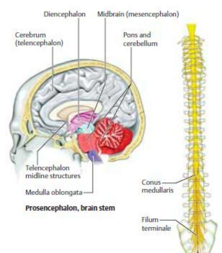 Gambar 1. Anatomi Otak Sumber: Rohkamm R. Color atlas of neurology. Germany: Gramlich; 2004 Batang otak