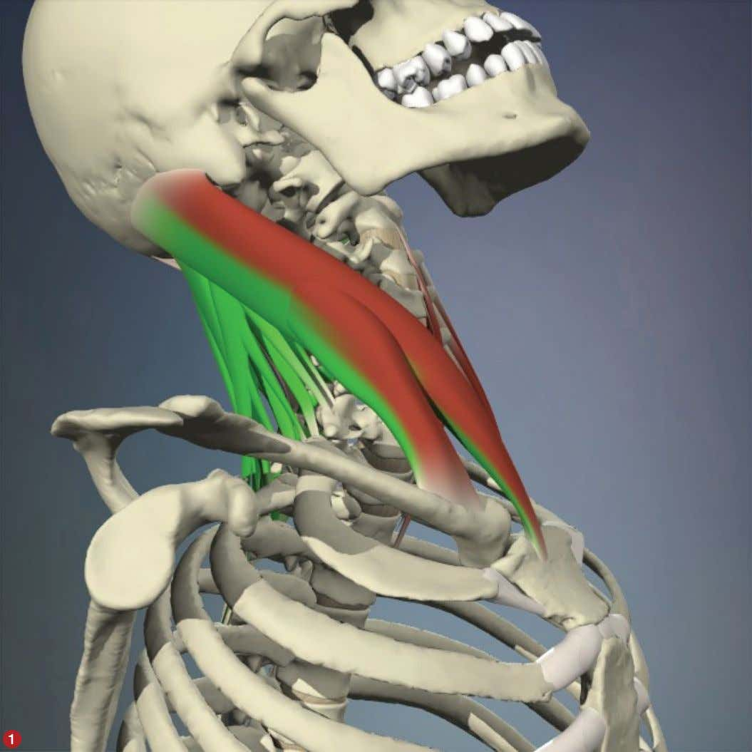 myofascial techniques BY TIL LUCHAU In a rear-end impact or a backward fall, the head and