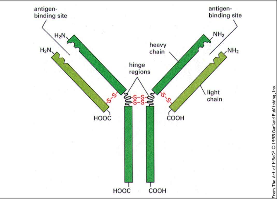 Antibodies An antibody molecule is composed of four polypeptide chains, two identical light chains and two