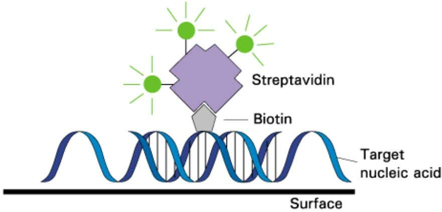 • Probes labelling: – radioisotopes – coupling of the nucleotides with biotin – fluorescent labels (FISH)