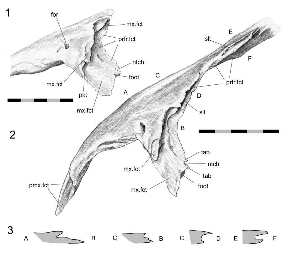 J ONES ET AL .: C RANIAL JOINTS IN Sphenodon FIGURE 16. Left nasal (DGPC1). 1.