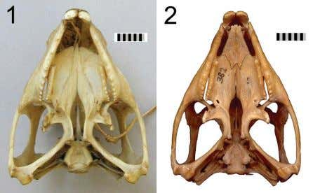 FIGURE 24. Vomer-palatine joint. 1. skull (OMNH 908) without vomers in place. 2. skull (NMNZ