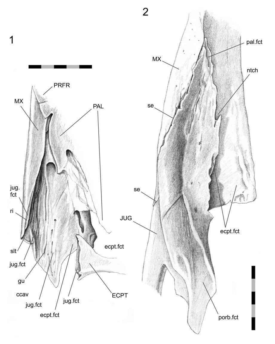 PALAEO - ELECTRONICA . ORG FIGURE 32. Maxilla-jugal joint. 1. skull without the jugal in place