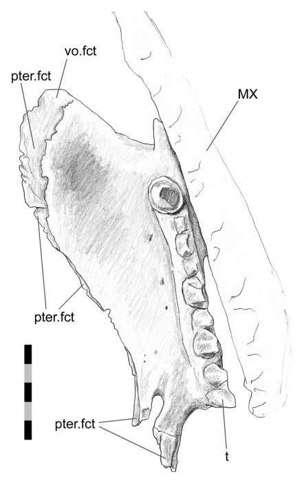 is some slight interdigitation. PALAEO - ELECTRONICA . ORG FIGURE 35. Left palatine (DGPC1) in ventral