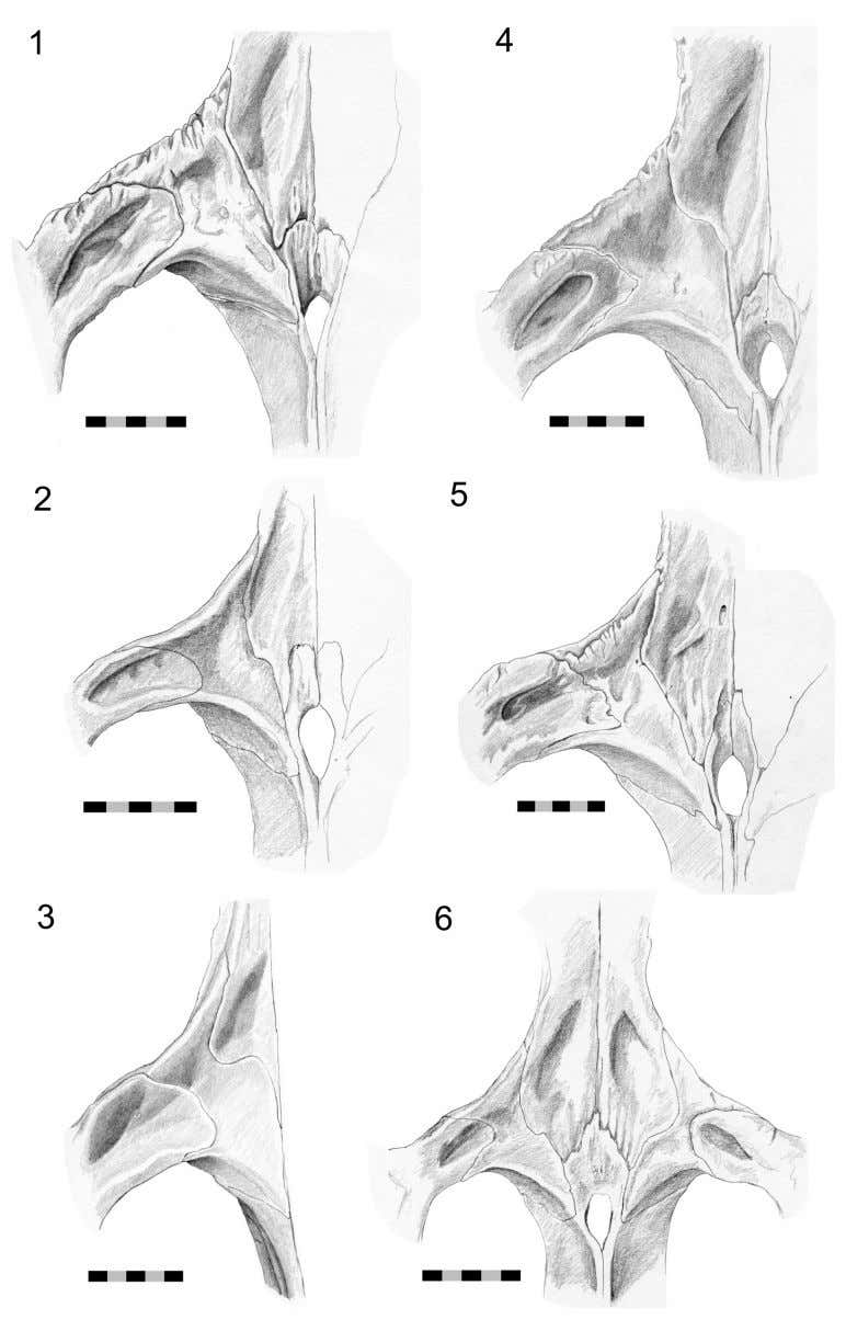 J ONES ET AL .: C RANIAL JOINTS IN Sphenodon FIGURE 50. Variation in postfrontal, frontal