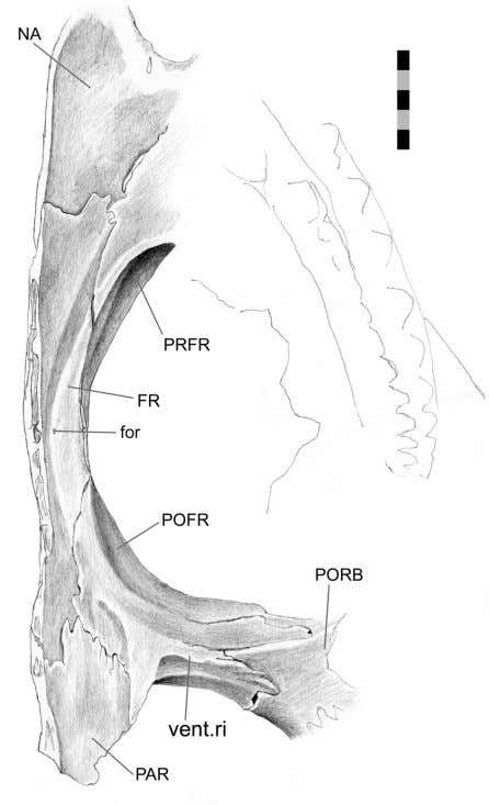 FIGURE 53. Partial skull roof (DGPC1 prior to disarticu- lation) in ventromedial view. Scale bar