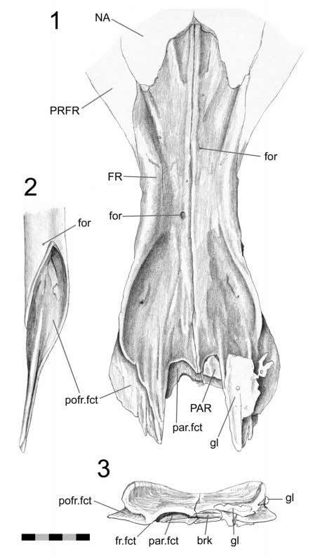J ONES ET AL .: C RANIAL JOINTS IN Sphenodon FIGURE 55. Frontal-postfrontal joint (LDUCZ1176). 1.