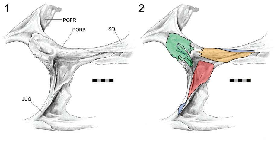 correspond- ing joints with the quadratojugal and squamosal FIGURE 62. Postorbital joints (DGPC1 prior to
