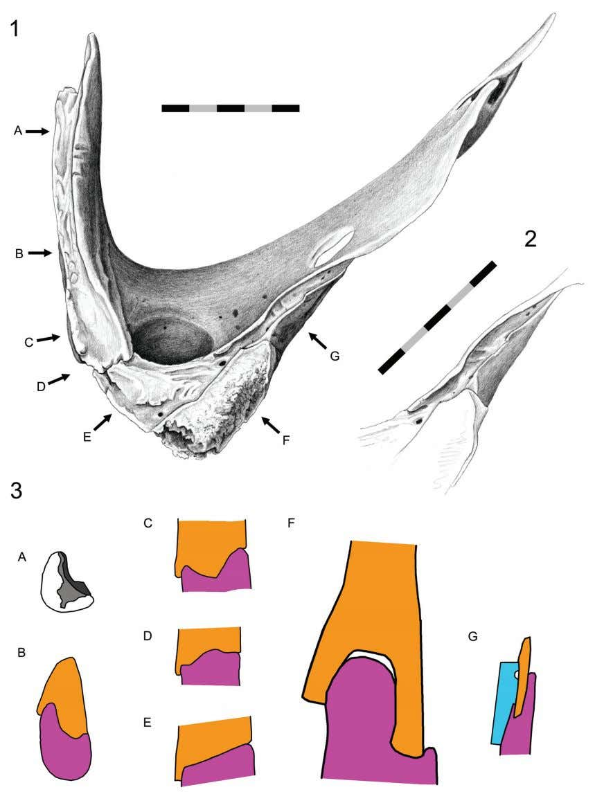 J ONES ET AL .: C RANIAL JOINTS IN Sphenodon FIGURE 68. Squamosal-quadrate-quadratojugal joint (DGPC1). 1.