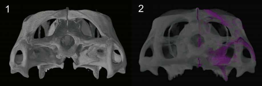 PALAEO - ELECTRONICA . ORG FIGURE 76. Sphenodon skull YPM9194 CT model in occipital view. 1.