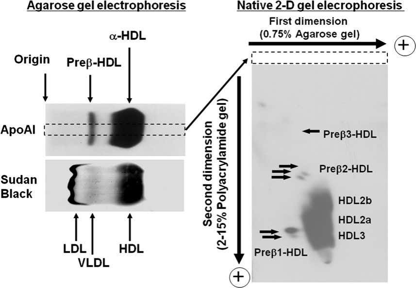 248 The HDL Handbook FIGURE 12.1 HDL subfractions separated by native two-dimensional gel electrophoresis. transport).