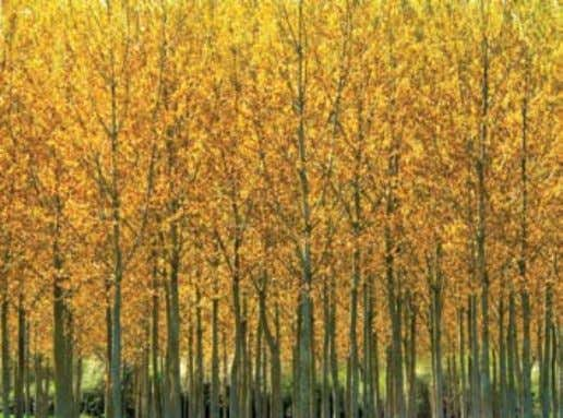 output, cost effectiveness, and envi- ronmental footprint. Poplars are a fast-growing tree being explored as a