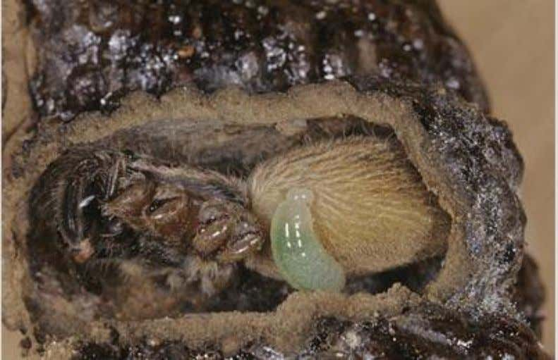Image 4: Pompilidae larva feeding on tarantula Schmidt Pain Index In 1984, Joseph O. Schmidt, a