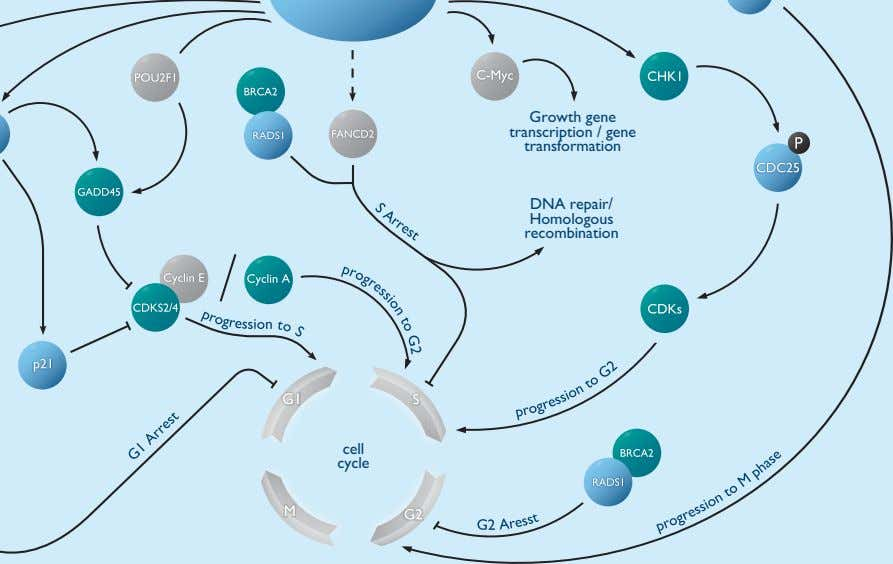 Growth gene transcription / gene transformation DNA repair/ Homologous recombination cell cycle