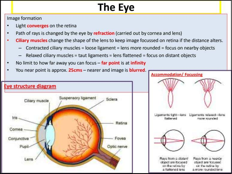 The Eye Image formation • Light converges on the retina • Path of rays is